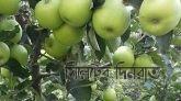 আপেল কিনে পুনরায় বণ্টন করবে ভুটান সরকার।